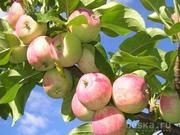 Поставка эксклюзивных фруктов по СНГ